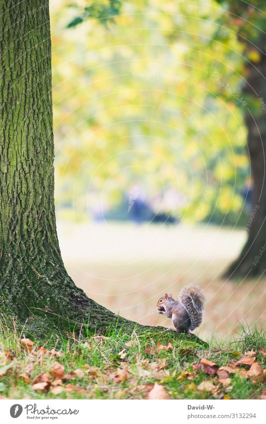 Grey squirrel sitting on a tree and eating a chestnut grey squirrels Squirrel Chestnut Eating Nature Crouch Cute Rodent Winter stock amass Animal