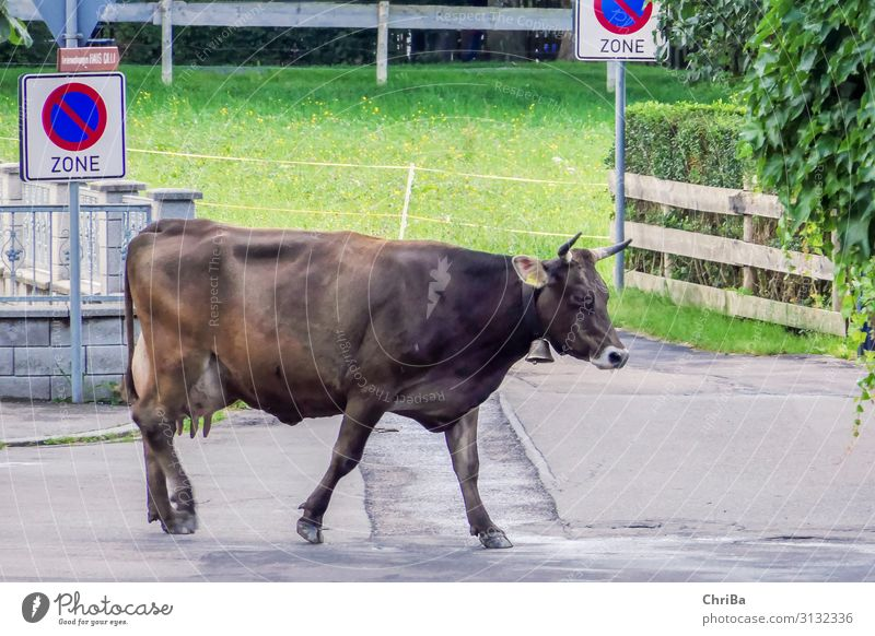 Do not park here Nature Animal Oberstdorf Village Transport Traffic infrastructure Street Cow Pet Farm animal 1 Sign Signs and labeling Signage Warning sign