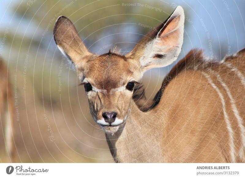 Kudu calf - Baby Animals in Nature Vacation & Travel Summer Beautiful Baby animal Environment Spring Tourism Freedom Brown Trip Park Wild animal Adventure