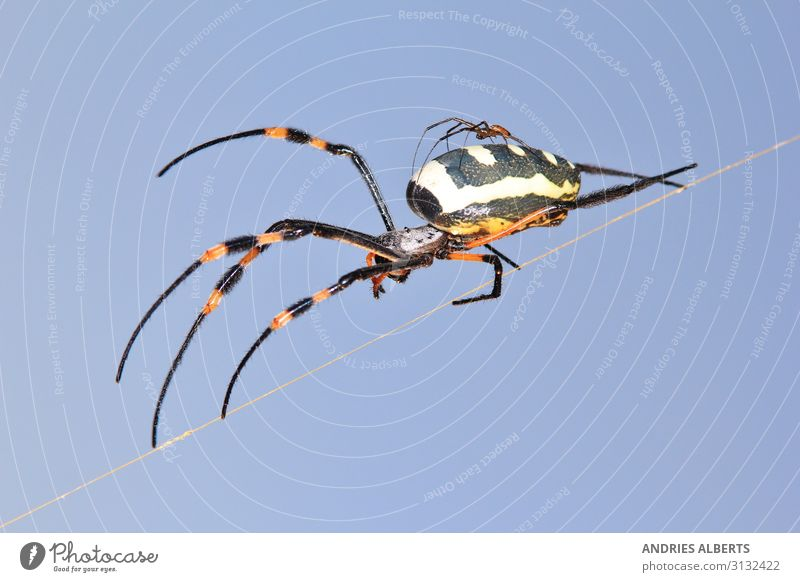Golden Orb Web Weaver Spider Vacation & Travel Tourism Sightseeing Safari Expedition Environment Nature Animal Sunlight Spring Savannah Spider's web