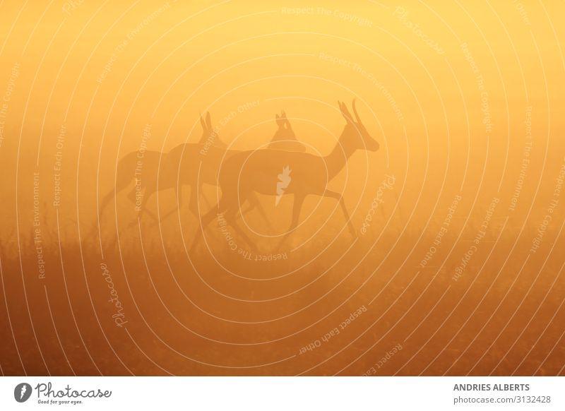 Springbok Run - Golden Life Vacation & Travel Tourism Trip Adventure Freedom Sightseeing Safari Expedition Environment Nature Landscape Animal Sky Sunrise
