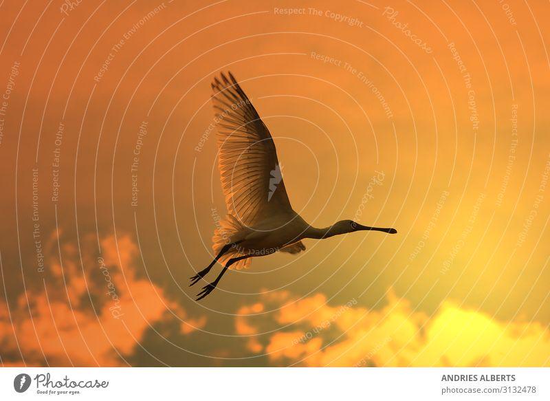Spoonbill Stork - Golden Flight Harmonious Vacation & Travel Tourism Trip Freedom Sightseeing Safari Summer Sun Environment Nature Animal Sky Sunrise Sunset