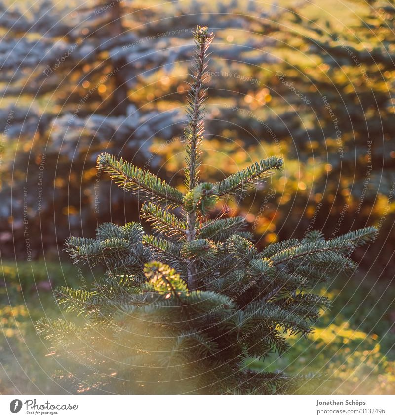 The Christmas tree grows in autumn Autumn Fir tree Park Background picture Beautiful Christmas & Advent Anti-Christmas Fir needle Coniferous trees Landscape