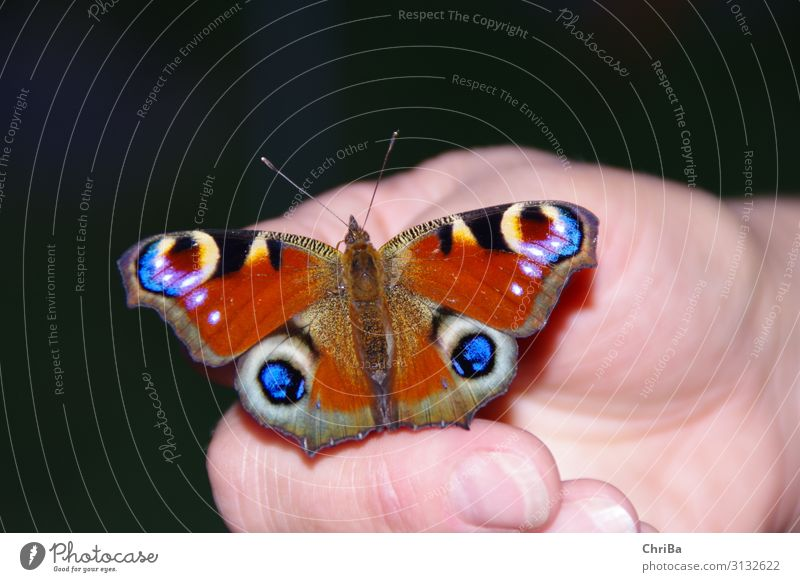 Peacock butterfly on the hand Female senior Woman Hand Fingers Environment Nature Animal Garden Butterfly 1 Touch Relaxation Sit Exotic Fantastic Near Blue