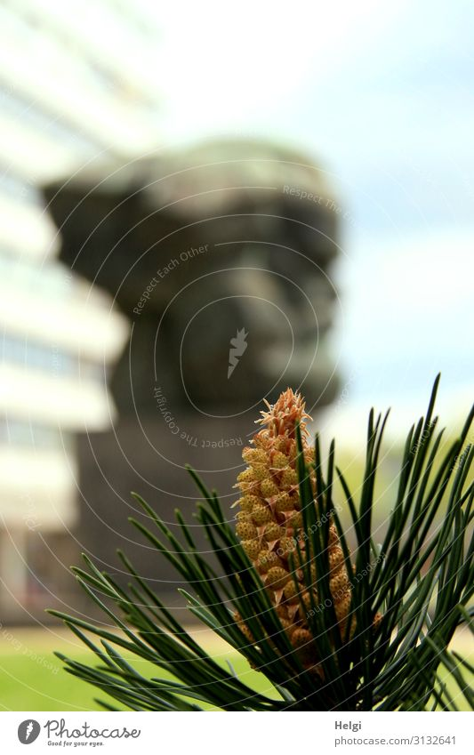 Close-up of a pine branch with blossom, in the background blurred the statue of Karl Marx in Chemnitz Nature Beautiful weather Plant Jawbone Pine needle Meadow