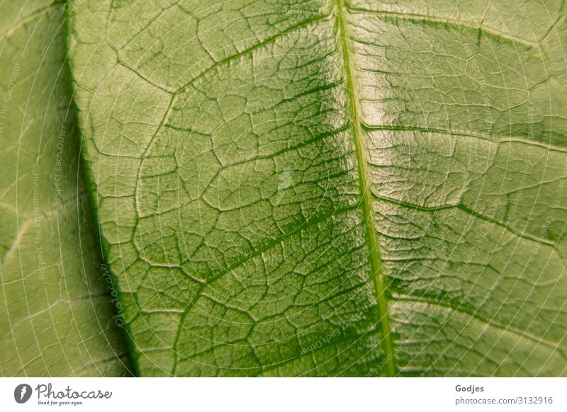 Macro image of a plant leaf Nature Plant Leaf Foliage plant Pot plant Observe Growth Glittering Juicy Green pretty Authentic Stagnating Environment Rachis