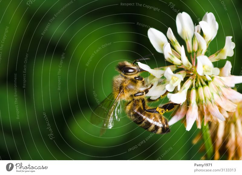 Bee collects pollen on a cloverflower Plant Flower Blossom Clover blossom Animal Farm animal 1 Work and employment To feed Yellow Green White To enjoy