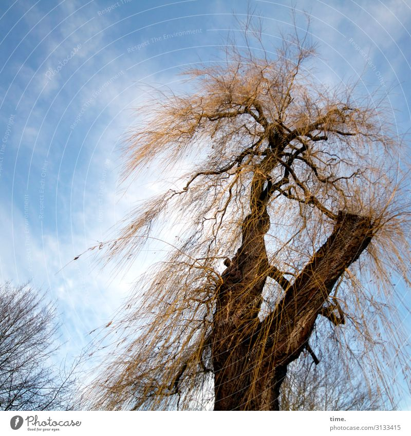 free and unkempt Tree Sky Whimsical shaggy Clouds Sick Tree trunk branches Tall Nature flora uncombed Wild bark Willow tree Rebellious Survive battle Force