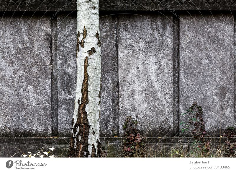 Grey wall with birch trunk Sculpture Tree Birch tree Cemetery Grave Tombstone Wall (barrier) Wall (building) Stone Stand Sadness Firm Gray White Modest Concern