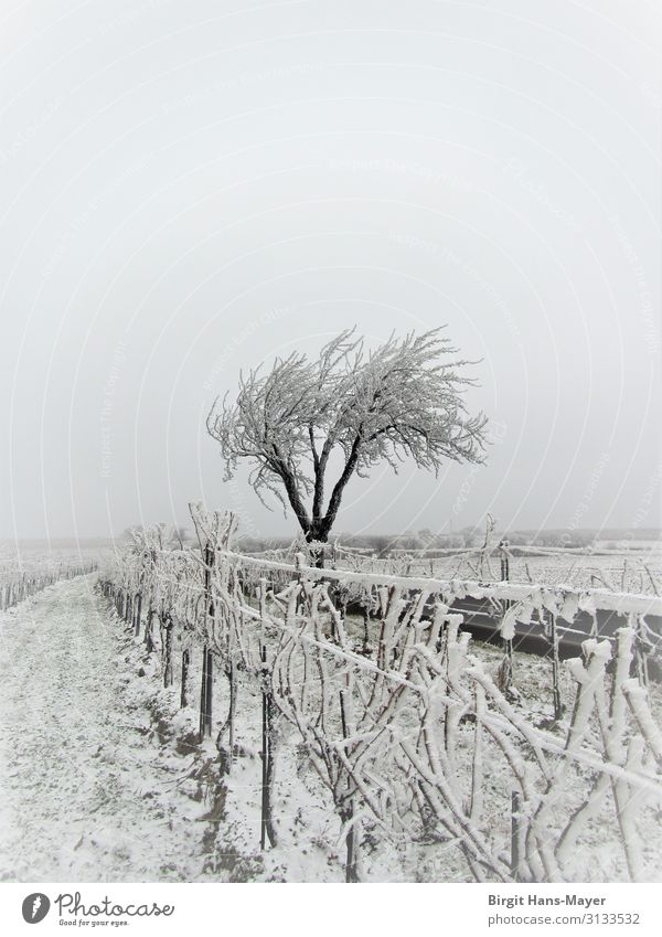 hoar frost Winter Nature Landscape Climate Weather Bad weather Tree Vineyard Field Deserted Freeze Sadness Dark Cold Gray White Loneliness Distress Services