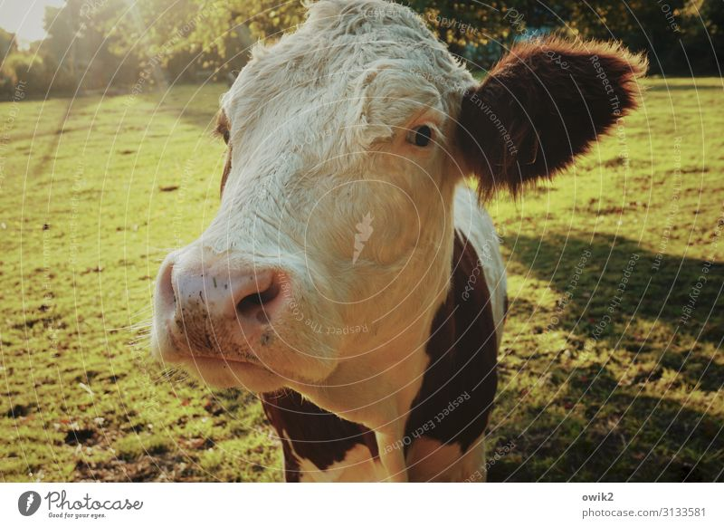 Urvieh Animal Autumn Beautiful weather Meadow Pasture Cow 1 Observe Think Looking Large Near Curiosity Acceptance Trust Peaceful Attentive Caution Serene