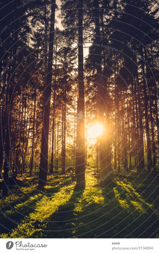 Evening sun in the forest of Sweden Forest vacation Hiking Freedom Environment Nature Green Coniferous forest pines Climate Healthy Enchanted forest Mysterious