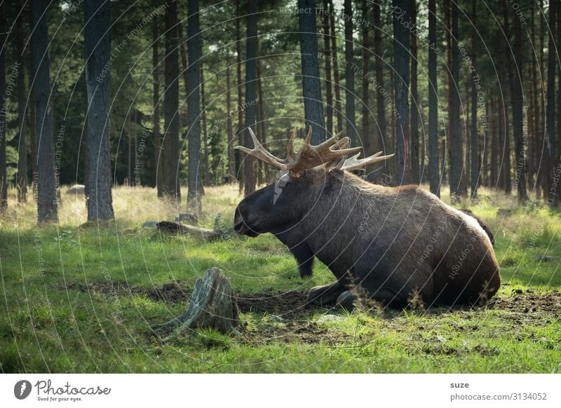 Moose lies in the forest Harmonious Well-being Trip Adventure Freedom Summer Hiking Environment Nature Landscape Plant Climate Park Meadow Forest Wild animal