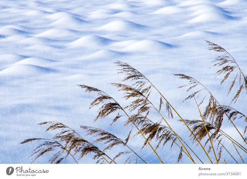 Blue Beautiful White Landscape Winter Far-off places Cold Snow Meadow Brown Bright Beautiful weather Heap Marsh grass Purity Snow layer
