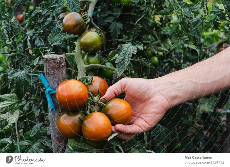Man's hand picking ripe kumato tomatoes in the orchard. Vegetable Vegetarian diet Lifestyle Wellness Summer Gardening Adults Hand Group Nature Plant Flower Leaf