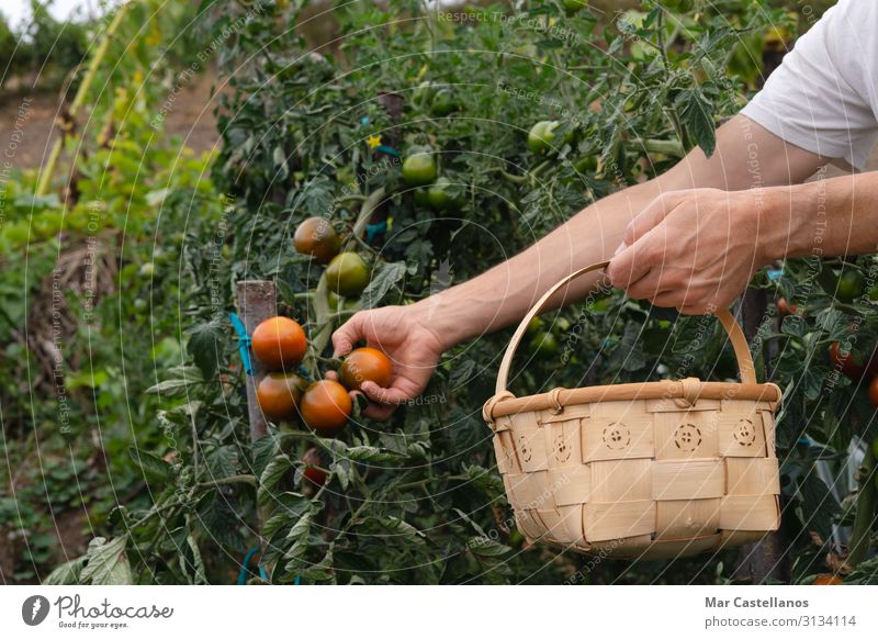 Picking tomatoes by hand in the orchard in wooden basket. Vegetable Nutrition Wellness Summer Gardening Agriculture Forestry Masculine Man Adults Hand Nature
