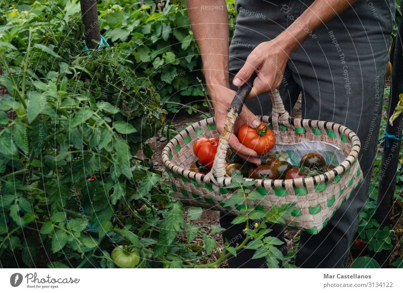 Picking ripe tomatoes by hand in basket. Vegetable Vegetarian diet Lifestyle Healthy Wellness Summer Gardening Agriculture Forestry Masculine Man Adults Hand