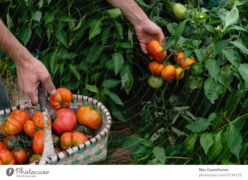 Man hand gathers ripe tomatoes in organic garden in basket. Food Vegetable Nutrition Vegetarian diet Summer Gardening Agriculture Forestry Gastronomy Masculine