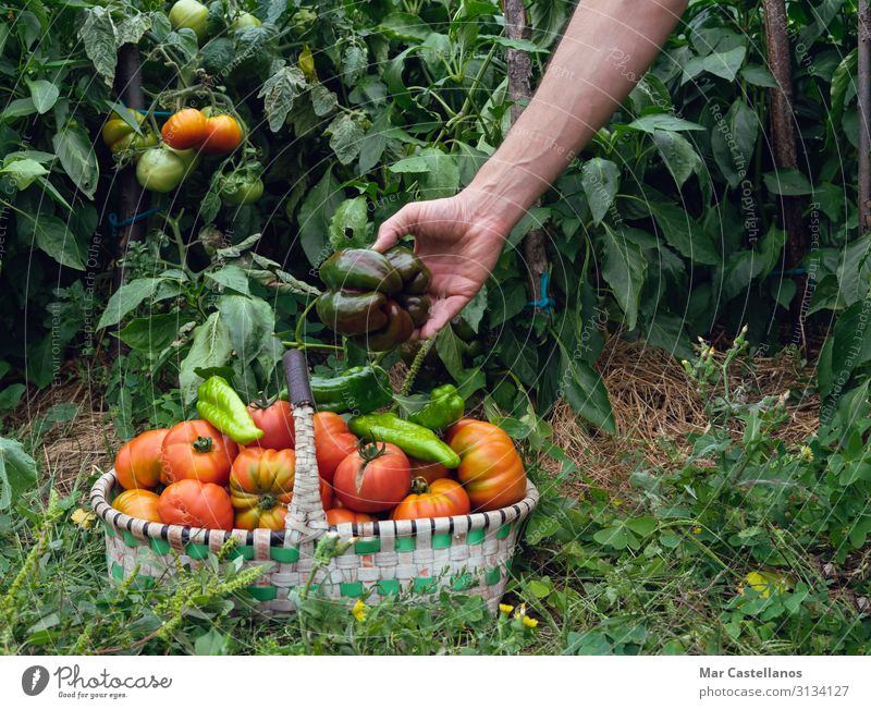 Hand collecting peppers in the orchard in basket. Food Vegetable Nutrition Vegetarian diet Summer Gardening Agriculture Forestry Gastronomy Masculine Man Adults