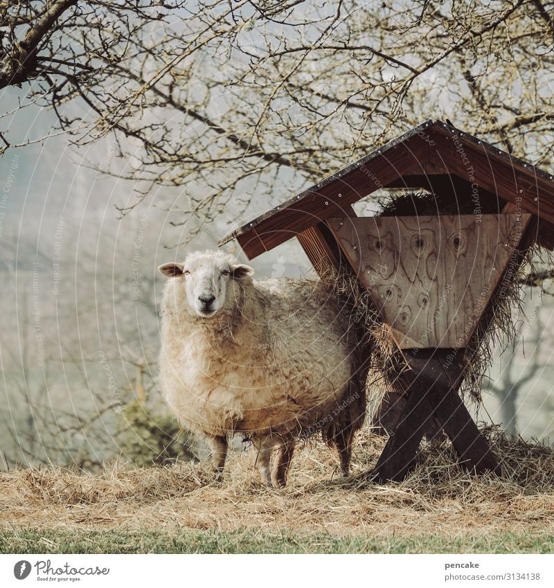 Careful, look out! Nature Landscape Spring Beautiful weather Tree Meadow Field Animal Farm animal Pelt 1 Observe Feeding Life Sheep Manger feed trough