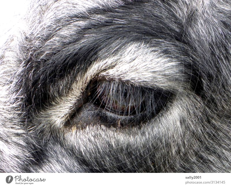 beautiful long and thick eyelashes... Eyes Eyelash Cow Cattle Looking moment Animal portrait Pelt Farm animal Agriculture Gray mottled Animal face Exterior shot