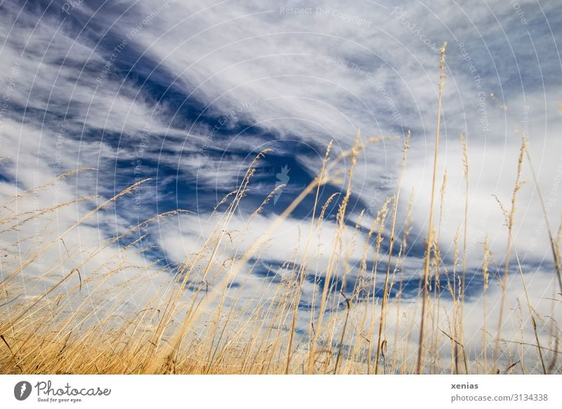 lie in the cornfield and look at the clouds Cornfield Clouds Sky Environment Nature Plant Weather Summer Climate Climate change Grass Beautiful weather Drought