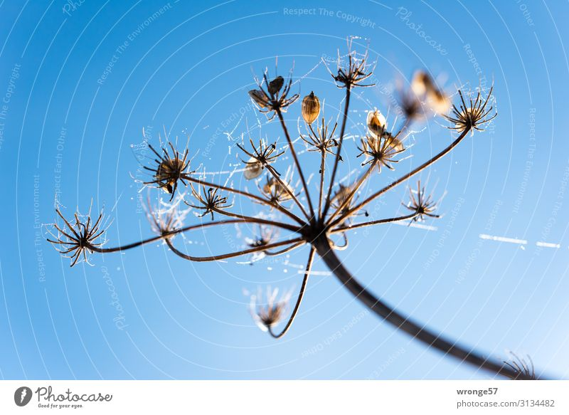 Dew drops on a flower stem Nature Plant Air Drops of water Sky Cloudless sky Autumn Winter Beautiful weather Ice Frost Blossom Meadow Fresh Blue Brown Black