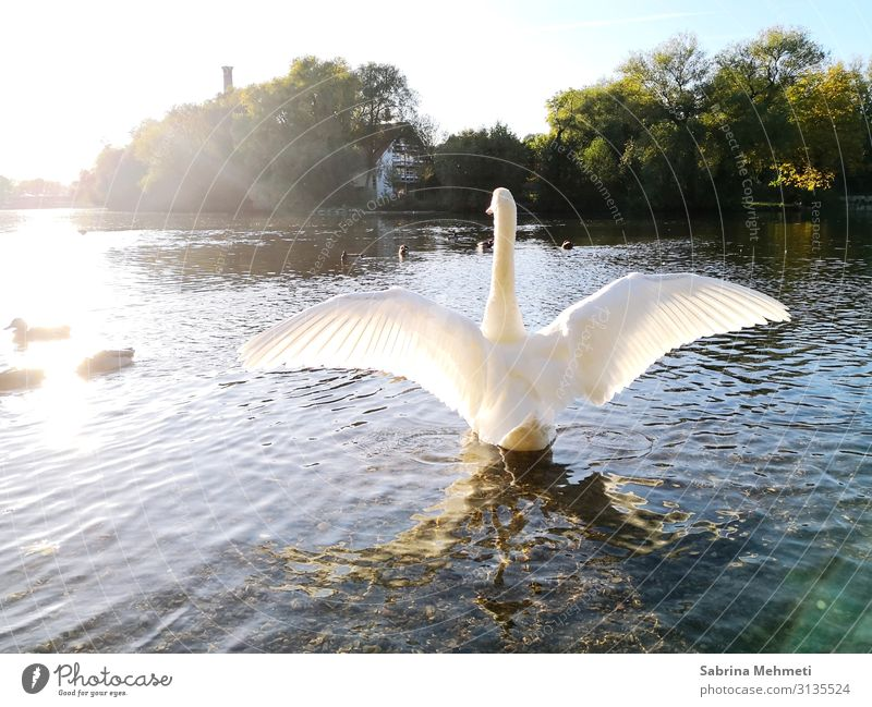 swan Vacation & Travel Trip Far-off places Freedom Summer Nature Water Sun Sunlight Beautiful weather Lake Animal Swan Relaxation Looking Illuminate Authentic