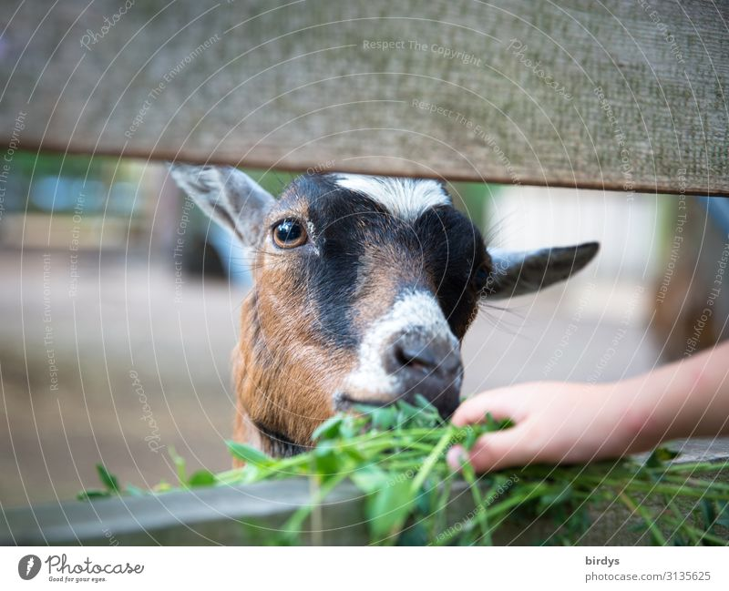 Feed goat Agriculture Forestry Child Hand 1 Human being 3 - 8 years Infancy Grass Clover Farm animal Animal face Petting zoo Goats To feed Feeding Joy
