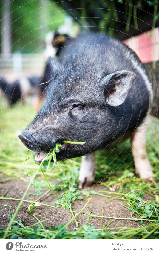 Little pig in the field eats clover. Animal portrait of a piglet. weak depth of field Agriculture Species-appropriate Organic farming Beautiful weather Grass