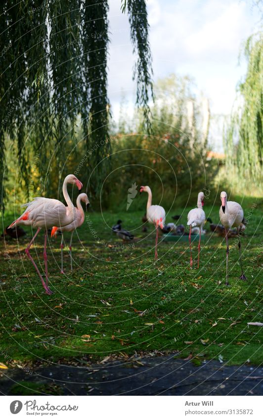 flamingos Nature Landscape Autumn Park Animal Wild animal Zoo Petting zoo Flamingo Group of animals Herd Esthetic Beautiful Pink Happiness Enthusiasm