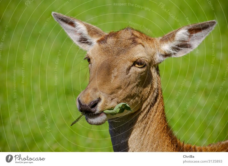It tastes Hunting Summer Animal Wild animal Animal face Pelt Fallow deer Hind Doe eyes 1 To feed Feeding Brown Green Colour photo Exterior shot Copy Space left