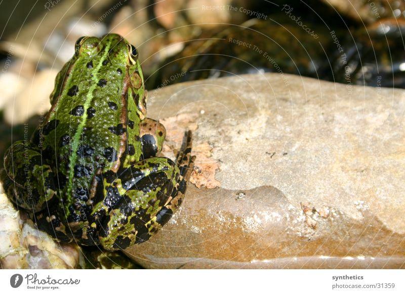 BLICKWINKEL Quack Frog Stone Looking Sit