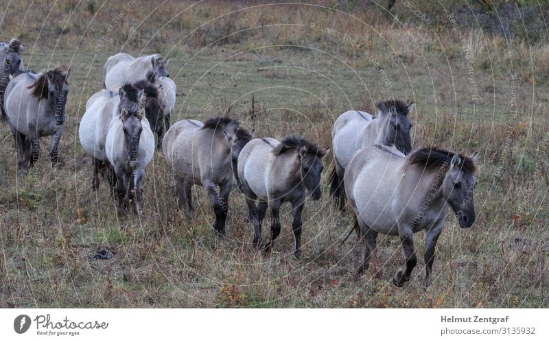 March of the Koniks Ride Hiking Autumn Village Small Town Animal Pet Farm animal Horse Group of animals Herd To feed Walking Germany ringing in the ears