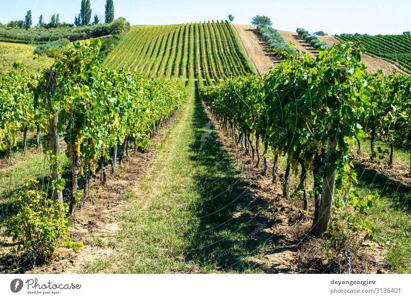 White grape vineyards in Italy. Italian winery. Summer Nature Landscape Plant Leaf Natural Green Perspective Vineyard Bunch of grapes Winery Tuscany country