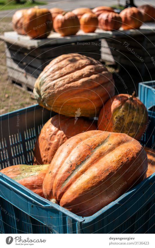 Variety of many pumpkins on the market. Different types pumpkins Vegetable Garden Decoration Thanksgiving Hallowe'en Nature Plant Autumn Marketplace Fresh