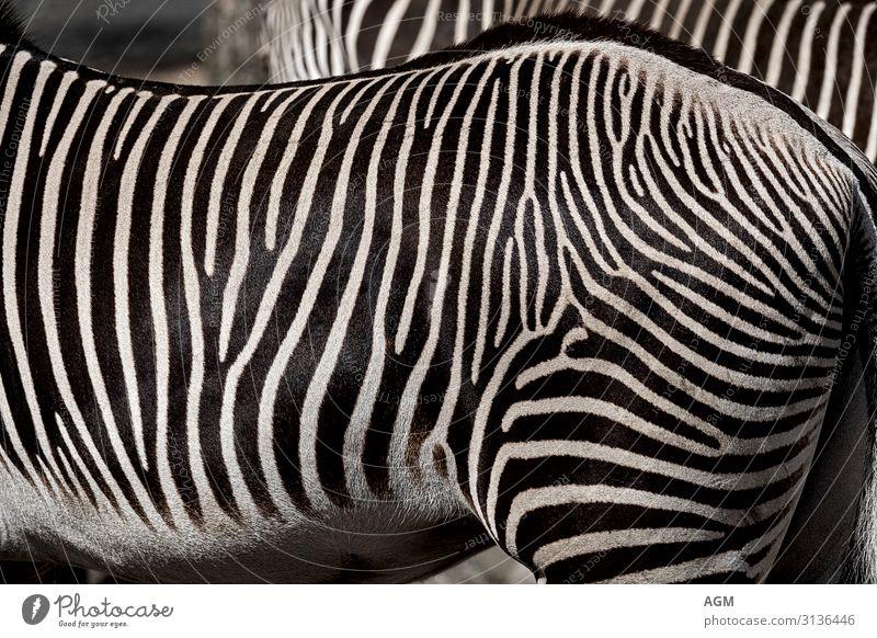Stripes black white Elegant Nature Animal Wild animal Horse Pelt 2 Stand Esthetic Exotic Near Beautiful Black White Zebra Africa Hind quarters Pattern Muscular