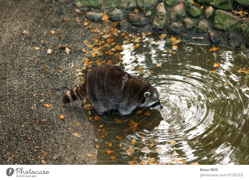 Thirsty raccoon Animal Wild animal Pelt Paw Zoo Petting zoo Raccoon 1 Drinking Love of animals Colour photo Exterior shot Deserted Day Central perspective