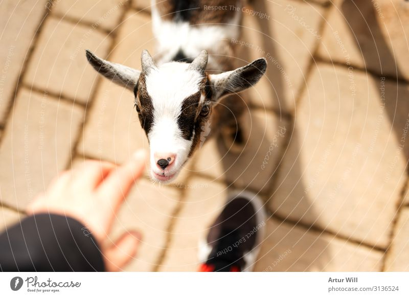 kid Animal Farm animal Animal face Zoo Petting zoo Kid (Goat) 1 Baby animal Touch Feeding Brown White Joy Enthusiasm Trust Caress Colour photo Exterior shot