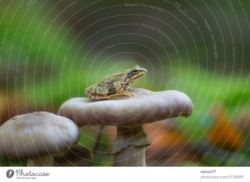 little frog sits on mushroom hat Frog Mushroom Forest Grass frog Small Amphibian Mushroom cap Plant Animal 1 Macro (Extreme close-up) Wait Overview Patient
