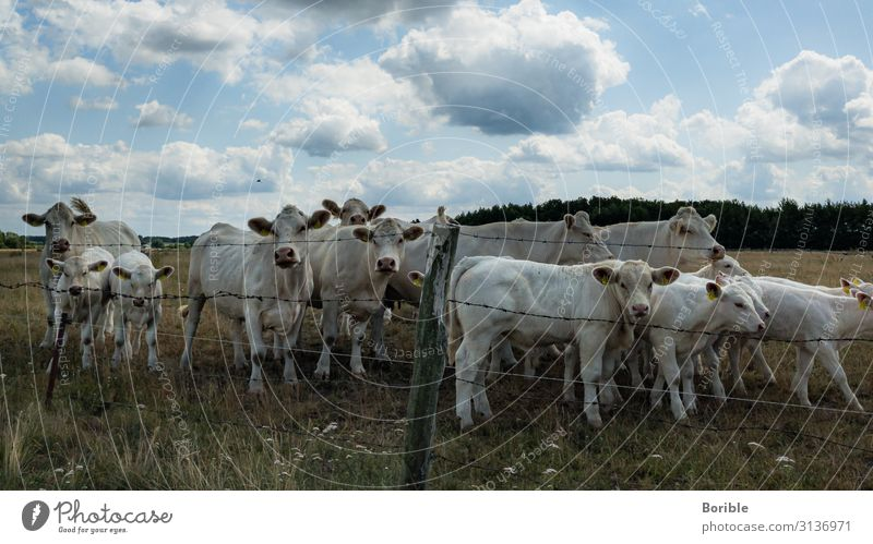 are you looking? Environment Summer Beautiful weather Field Cow Herd Esthetic Loneliness Team Tourism Colour photo Exterior shot Day Looking into the camera