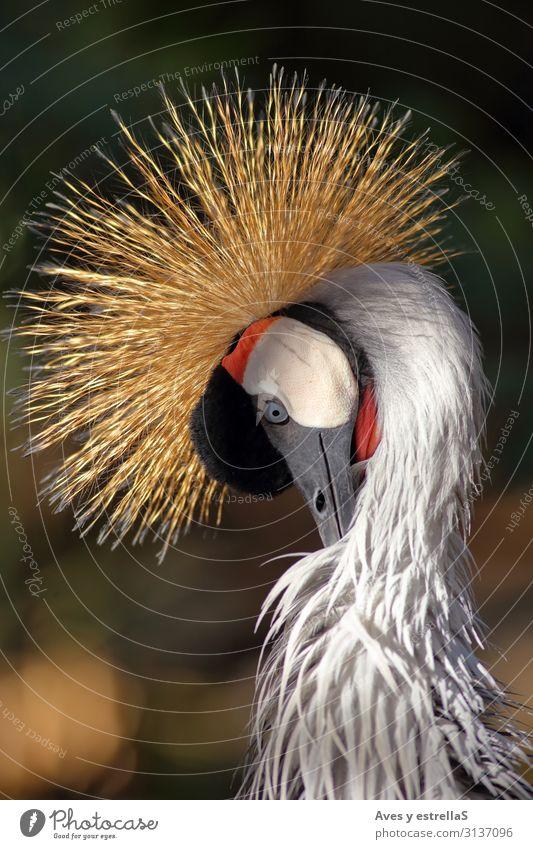 Close-up of a crowned crane Bird Crane Crow Animal Nature Gray Crown Gamefowl Beak Head Black Feather Crest Portrait photograph Beautiful Wild Red Zoo Colour