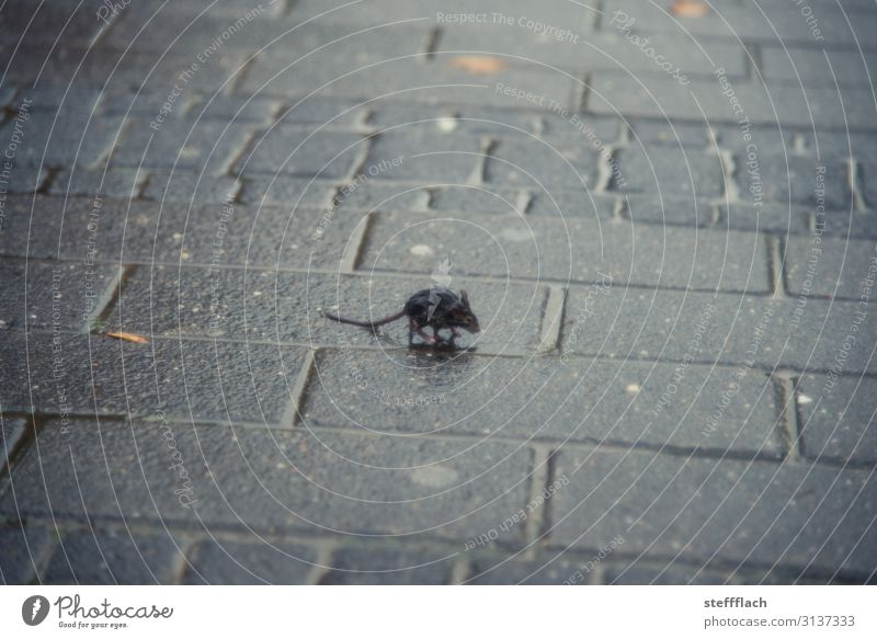 rain mouse Environment Water Autumn Bad weather Rain Downtown Deserted Street Sidewalk Animal Wild animal Mouse Pelt Claw Paw 1 Baby animal Freeze Running