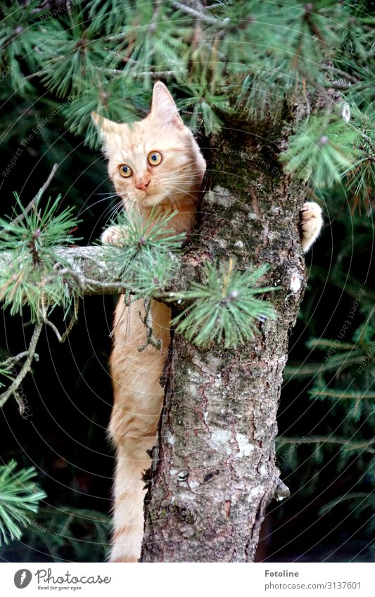 Heeeeeeee! Environment Nature Plant Animal Tree Wild plant Pet Cat Animal face Pelt 1 Free Bright Near Natural Brown Green Climbing Hunting Fir tree