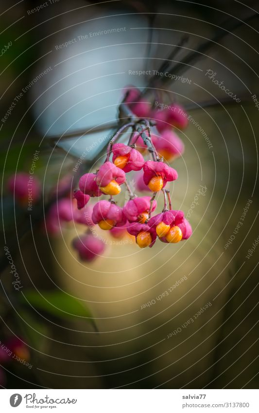 bright fruits Environment Nature Plant Autumn Bushes Twigs and branches Fruit spindle bush Common spindle Garden Park Forest Hang Illuminate Esthetic Contrast