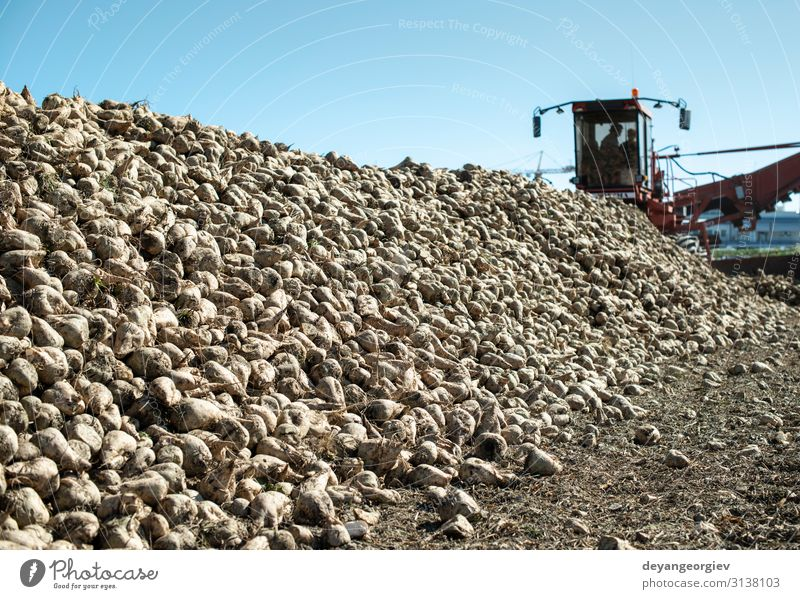 Machine harvest sugar beet. Industry Transport Tractor Trailer Trade Logistics Sugar beet Combine Yield Red beet processing Farm agriculture Crops Harvest sweet