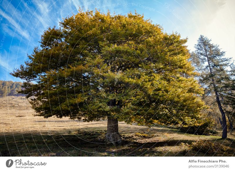 Single elm tree in autumn colours Summer Wallpaper Nature Landscape Plant Sky Autumn Weather Tree Grass Leaf Foliage plant Park Meadow Forest Large Tall Blue