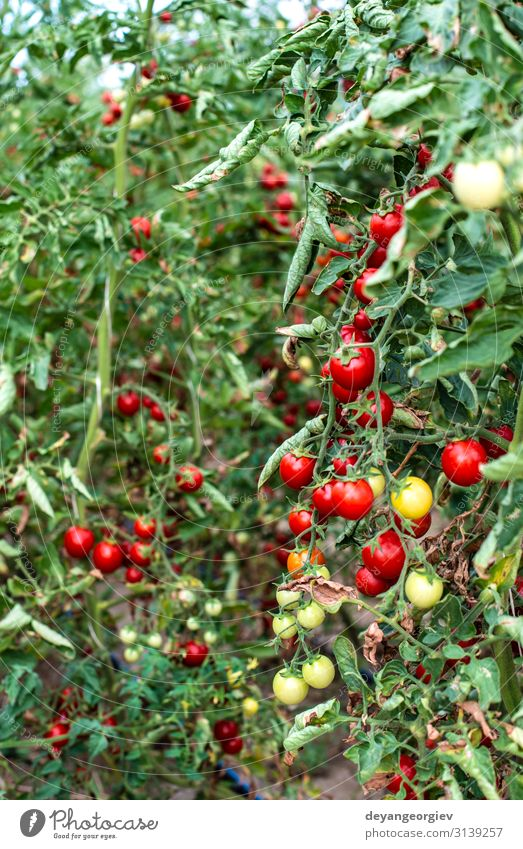 Small tomatoes in greenhouse Vegetable Summer Garden Gardening Nature Plant Growth Fresh Natural Red Tomato Greenhouse interior cherry tomatoes agricultural