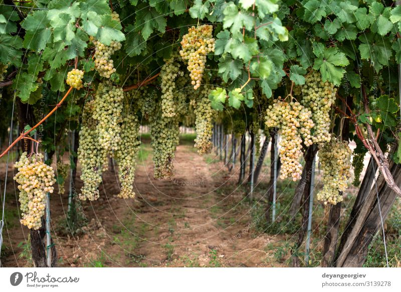 Dessert white grapes. Variety of grapes for eating. Fruit Eating Juice Summer Garden Nature Landscape Plant Autumn Leaf Growth Fresh Natural Juicy Yellow Green