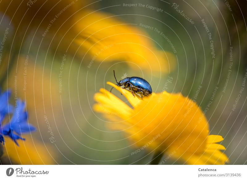 Sky blue leaf beetle crawls on a yellow flower in the flower meadow daylight Day Summer Garden Green fade blossom Animal Insect Blossom Plant flora Nature